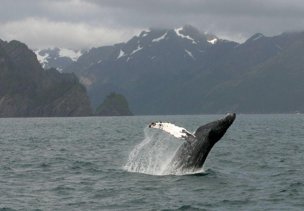 A whale breaches south of Fox Island in Resurrection Bay outside Seward. (Alex DeMarban / ADN)