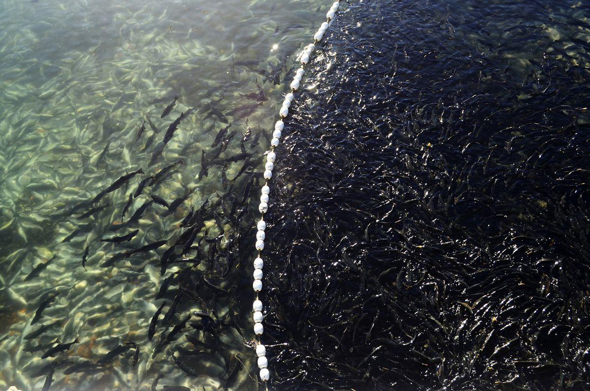 In a Sept. 13, 2018 photo, returning pink salmon swarm in a catchment area at the Kitoi Bay Hatchery on Afognak Island in Kodiak, Alaska. (Alistair Gardiner/Kodiak Daily Mirror via AP)