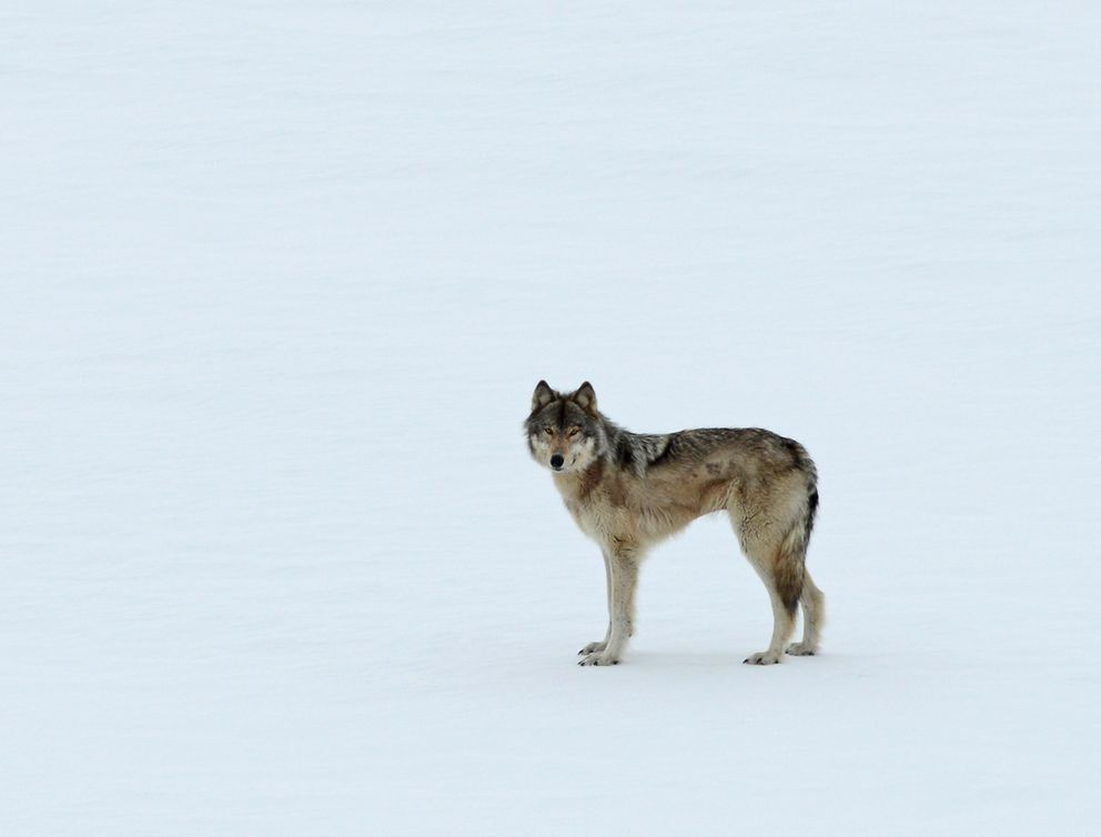 A wolf hangs out near Seth Kantner's cabin. (Photo by Seth Kantner)