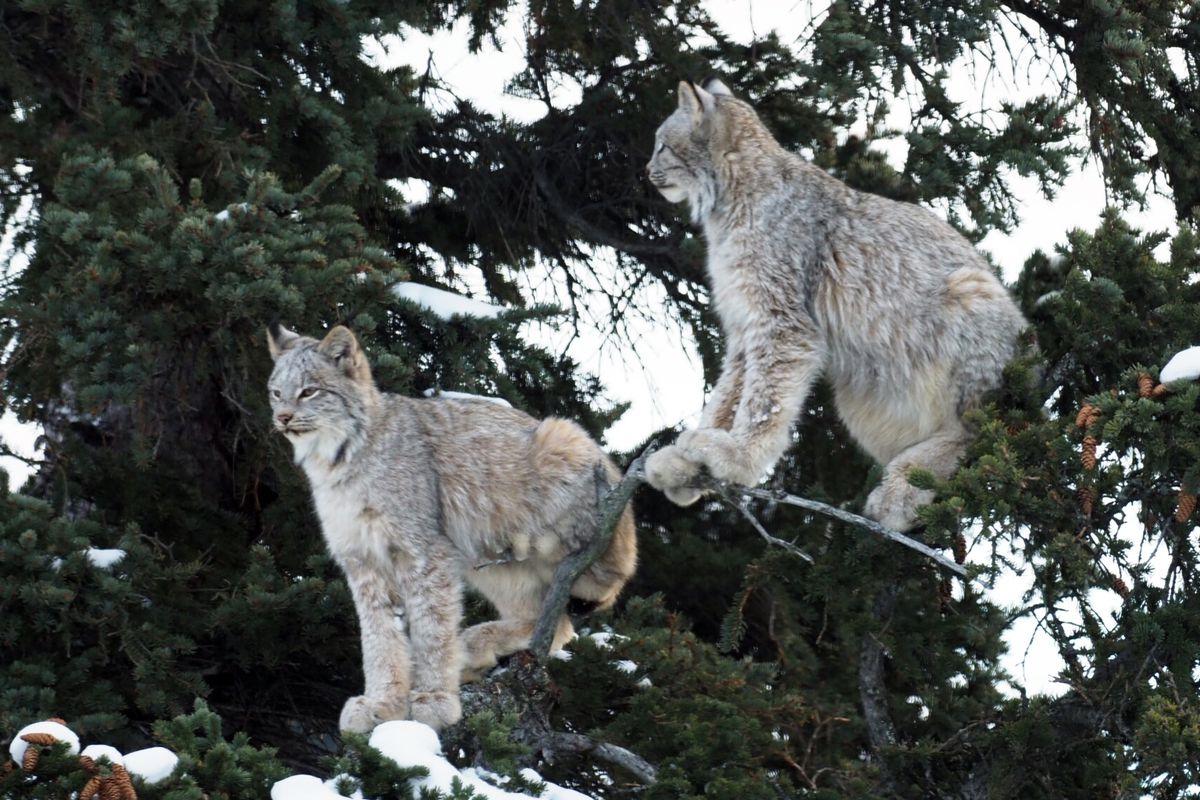 Lynx climb a spruce tree in the yard of an Anchorage Hillside home on Feb. 13. (Doug Vermillion)
