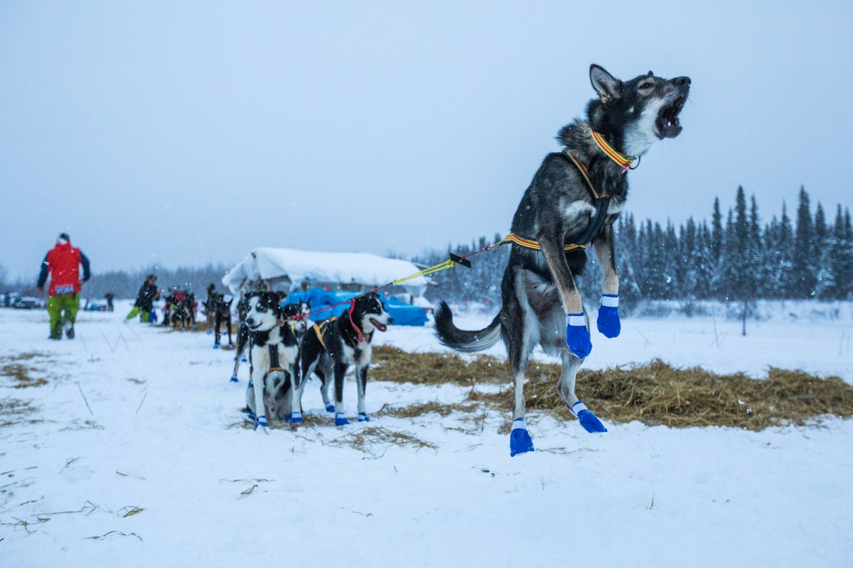 Lars Monsen's lead dog jumps in anticipation of leaving the Nikolai checkpoint on Tuesday, March 6, 2018 during the Iditarod Trail Sled Dog Race. (Loren Holmes / ADN)