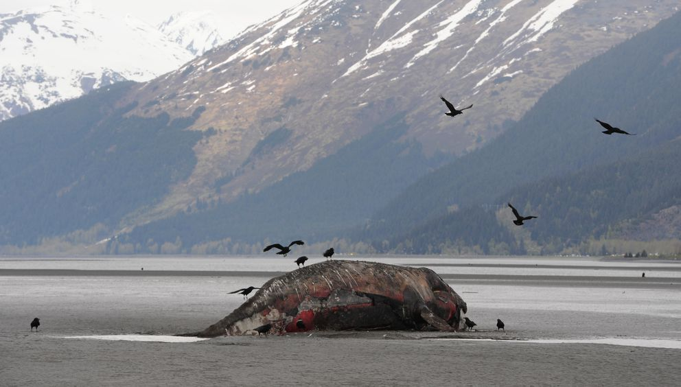 Ravens were attracted to the dead gray whale carcass at the head of Turnagain Arm on Wednesday, May 15, 2019. (Bill Roth / ADN)