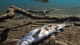 Lake Washington sockeye hit record low, another signature Seattle fish at brink of extinction