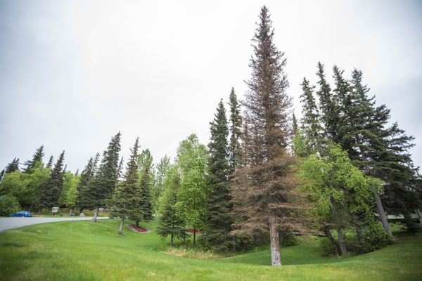 A spruce bark beetle-killed tree on the Anchorage Hillside. (Loren Holmes / ADN)