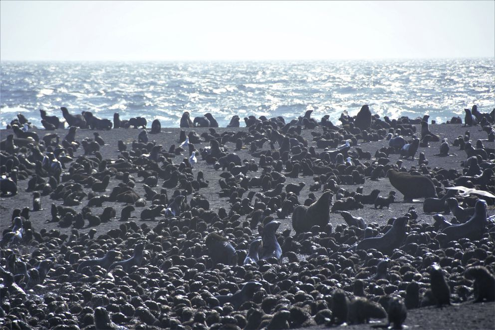 This August 2019 photo released by the National Oceanic and Atmospheric Administration Fisheries (NOAA) shows northern fur seal adults and pups on a beach on Bogoslof Island, Alaska. Alaska's northern fur seals are thriving on an island that's the tip of an active undersea volcano. Numbers of fur seals continue to grow on tiny Bogoslof Island despite hot mud, steam and sulfurous gases spitting from vents on the volcano. (Maggie Mooney-Seus/NOAA Fisheries via AP)