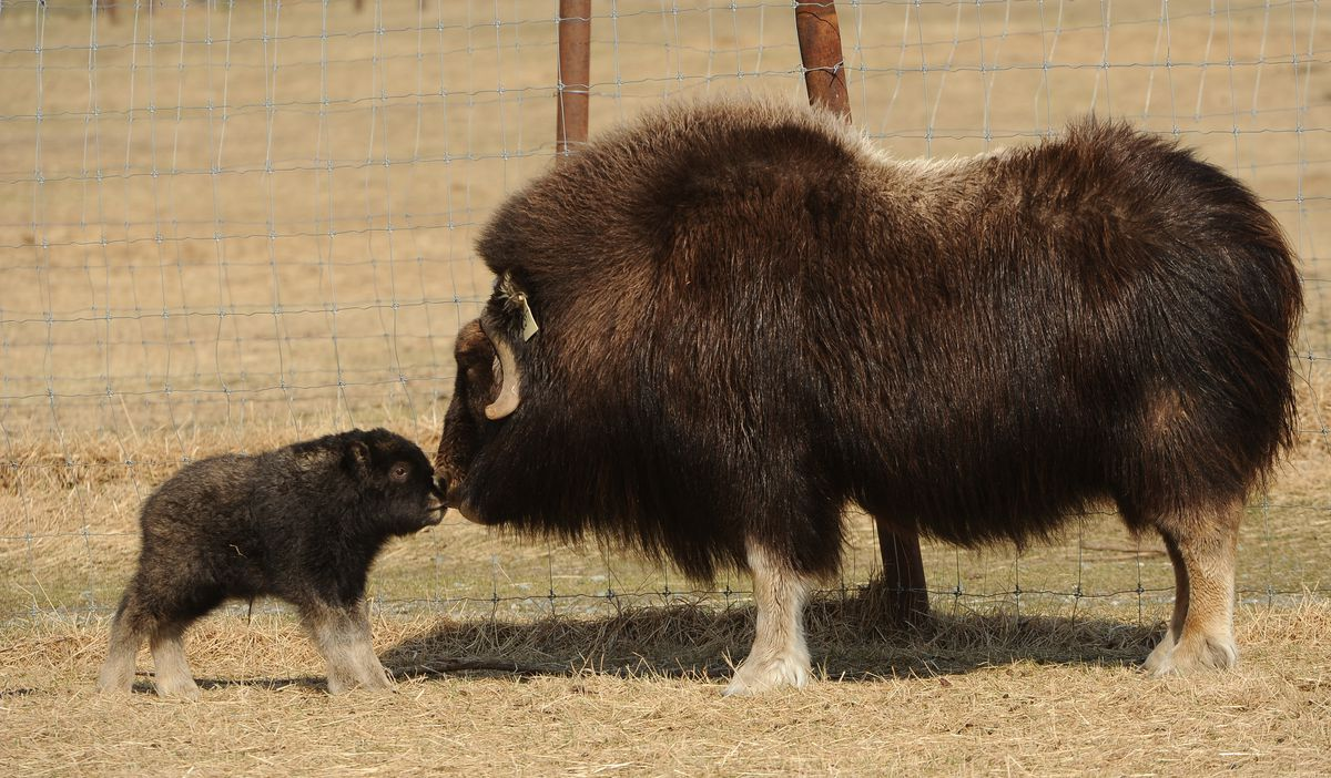 Newborn musk ox calf Argon nuzzles his mother, Jade. (Bob Hallinen / ADN)