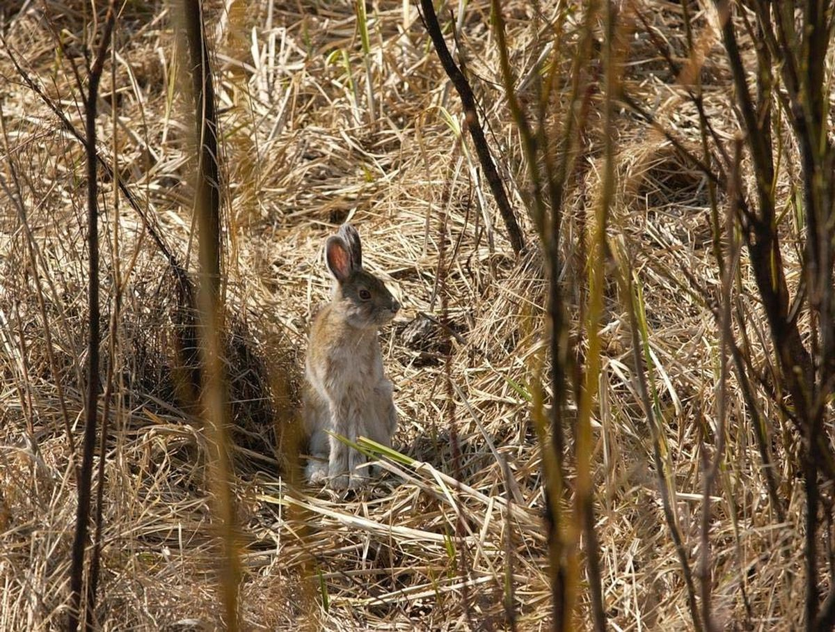 A snowshoe hare pauses in sunshine for a moment before bounding back into the woods at the edge of town Thursday afternoon, May 1, 2003, in McGrath. (Erik Hill / ADN archive 2003)