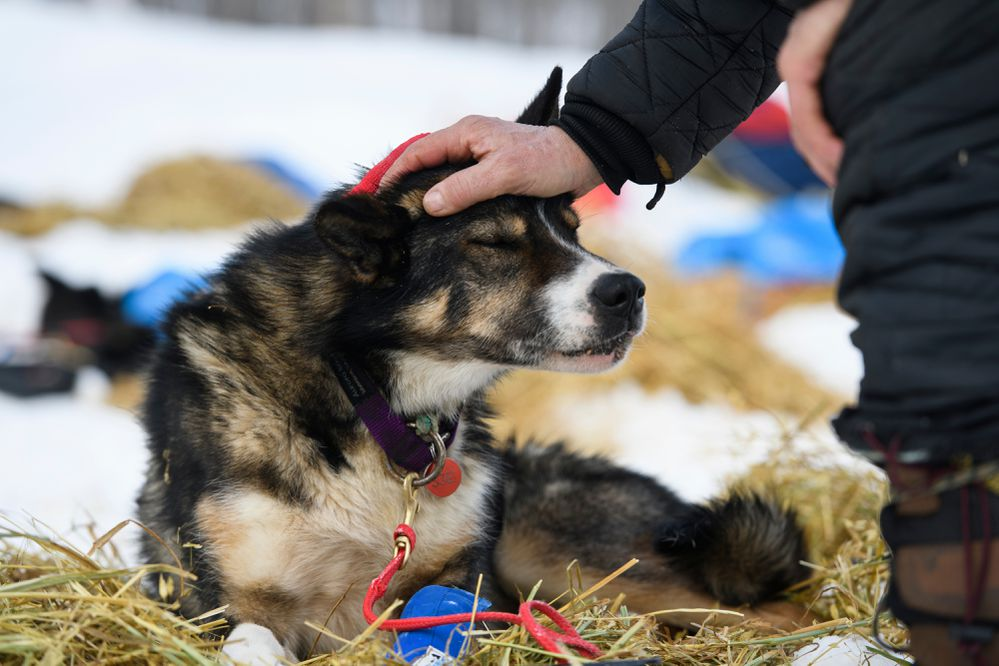 Chisto is a 5-year-old dog on Ed Hopkins' team. Photographed in Takotna during the Iditarod Trail Sled Dog Race on March 6, 2019. (Marc Lester / ADN)