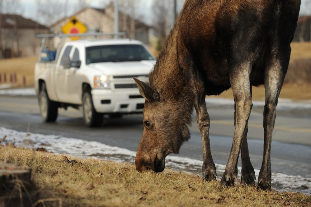 A moose grazes on a lawn as traffic passes by on Milky Way Drive in west Anchorage, AK on Thursday, March 10, 2016.