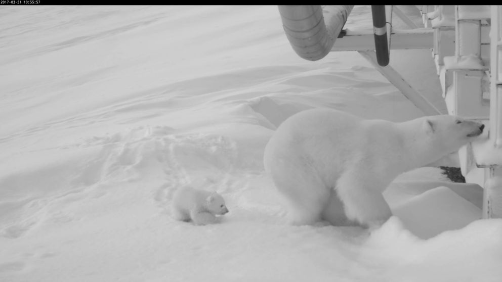 A monitoring camera produced a series of photos of a polar bear mother and her new cub exploring their surroundings in Prudhoe Bay. (U.S. Fish & Wildlife Service)