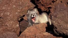 Western Alaska is experiencing an unprecedented rabies outbreak, officials say