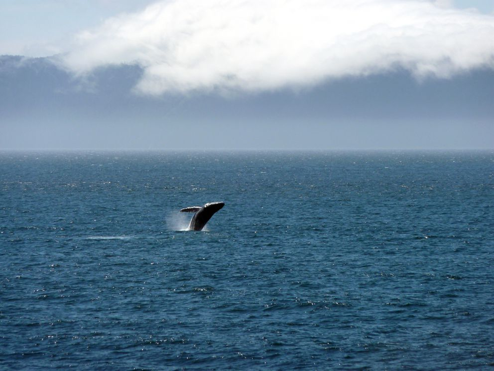Humpback whale activity abounds off the coast of Kuiu Island where the Cape Decision Lighthouse is located. (Andrew Washburn)