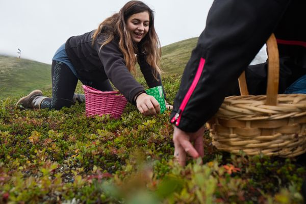 Bealey Armendariz, left, and Sherry Brandon, both of Wasilla, pick berries at Arctic Valley. Brandon said she likes to make jam with the harvest. (Marc Lester / ADN)