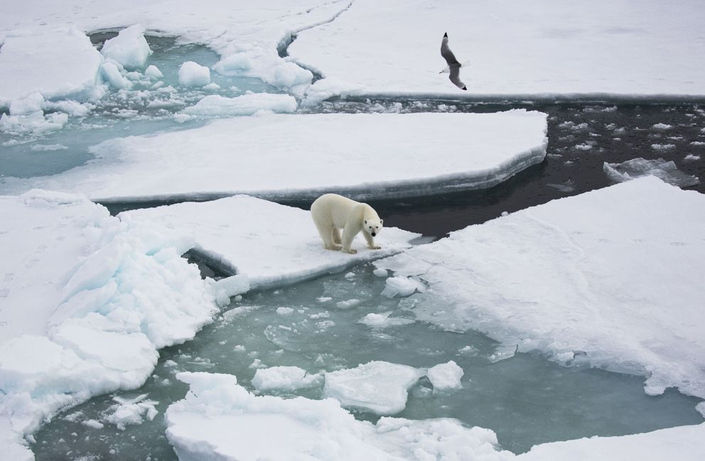 A polar bear amid the ice floes. Polar bears often lie at the edge of a floe, conserving energy and perhaps hoping a seal might pop out of the open water. (Mark Chilvers/for The Washington Post)
