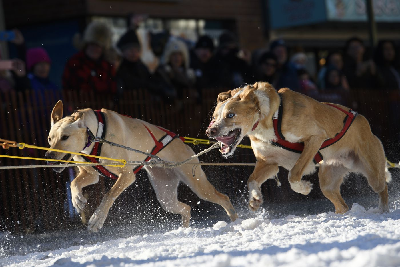 Todd Whitcomb's dogs begin to run. (Marc Lester / ADN)