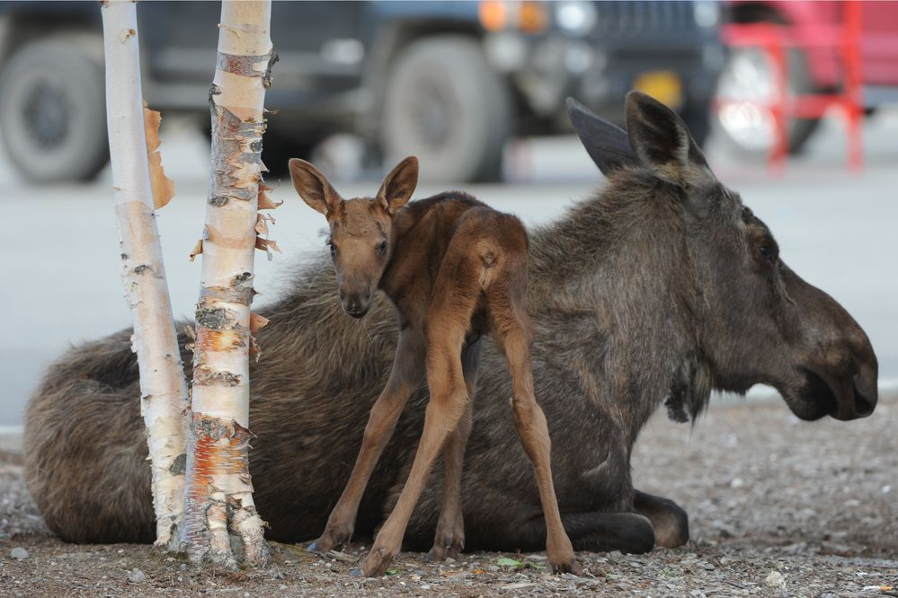 A cow moose follows her newborn calf on Tuesday, May 31, 2016, in the Lowe's parking lot at the Tikahtnu Commons in northeast Anchorage. (Bill Roth / Alaska Dispatch News)