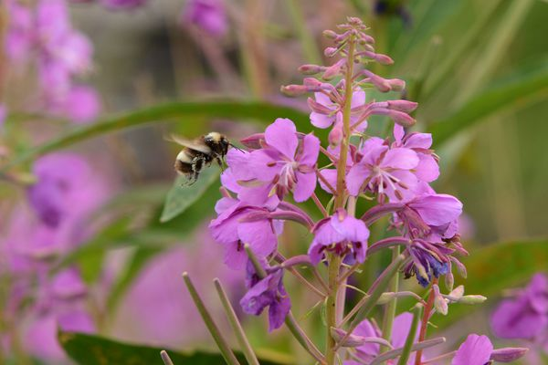 A bumblebee visits a fireweed plant along the Parks Highway on Wednesday, August 10, 2016 near Willow, AK. (Bob Hallinen / Alaska Dispatch News)