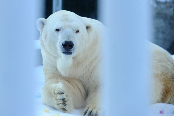 People gathered to greet Lyutyik, the Alaska Zoo's remaining polar bear, as it came out to explore the enrichment place in his enclosure in Anchorage, Alaska on Saturday, Jan. 20, 2018. A celebration of life for Ahpun, the zoo's other polar bear that recently died, was held at Gateway Hall at the zoo. (Bob Hallinen / ADN)
