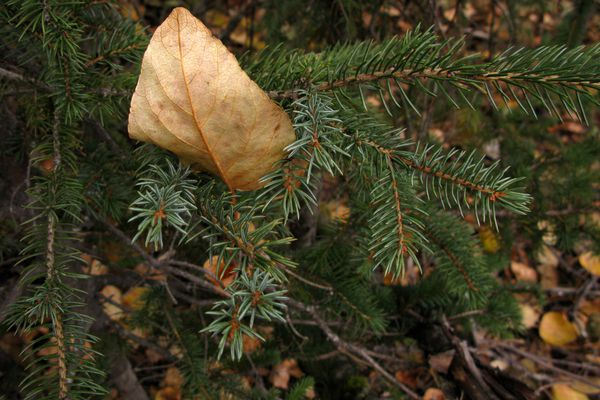 A leaf clings to an evergreen tree along the Hope Highway near Hope, AK on Thursday, October 9, 2014. (Bob Hallinen / ADN)