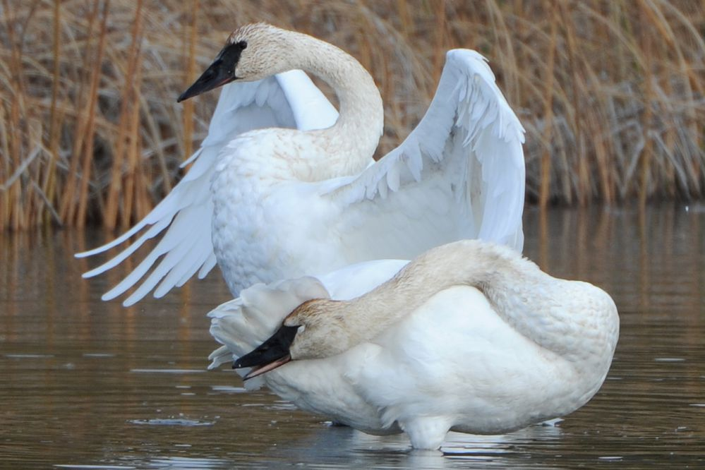 A pair of trumpeter swans preen their feathers on Sunday, Oct. 6, 2019, while feeding at Potter Marsh during the annual migration south for the winter. (Bill Roth / ADN)
