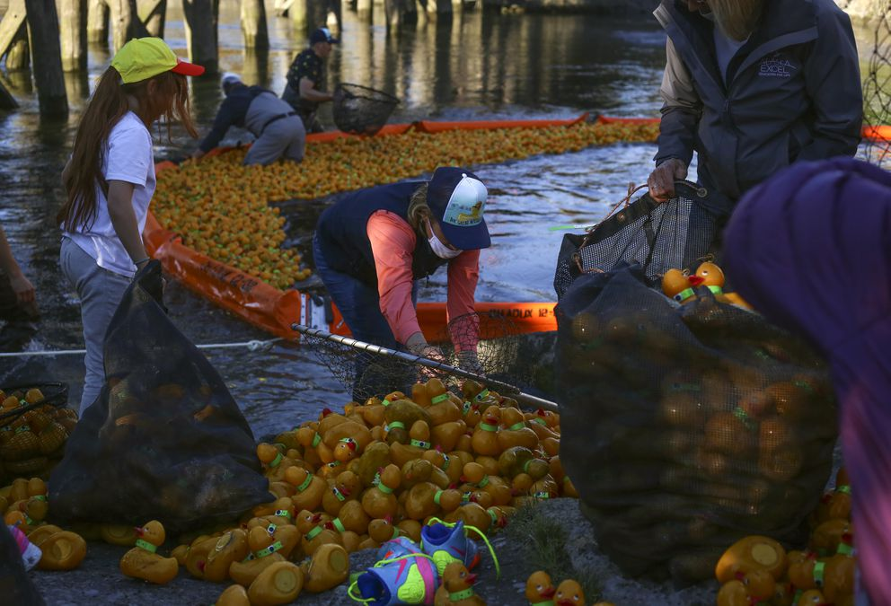 Volunteers line the finish line and help remove rubber ducks from Ship Creek, placing them in bags onshore. (Emily Mesner / ADN)