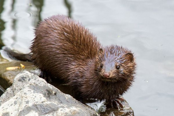 An American Mink in Capisic Pond, Portland, Maine