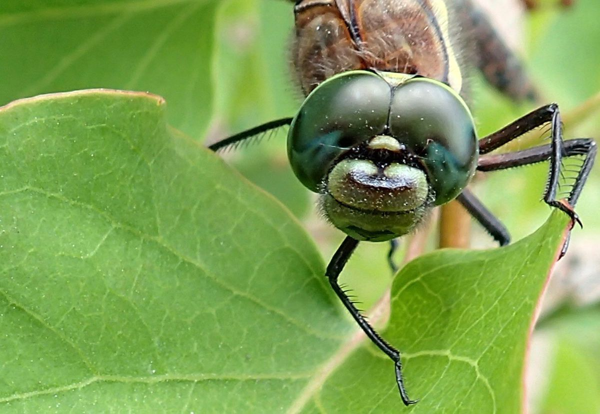 The compound eyes of a sedge darner dragonfly. Each eye is made up of thousands of light-and-motion-sensitive units. (Ned Rozell)