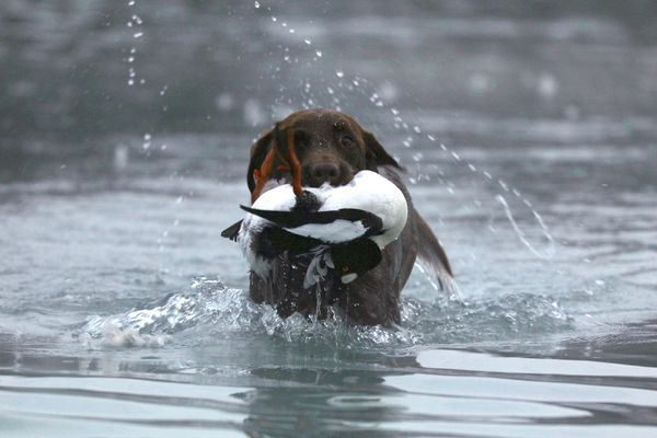 Christine Cunningham's dog Cheyenne hunt retrieves a duck in 2016. (Steve Meyer)