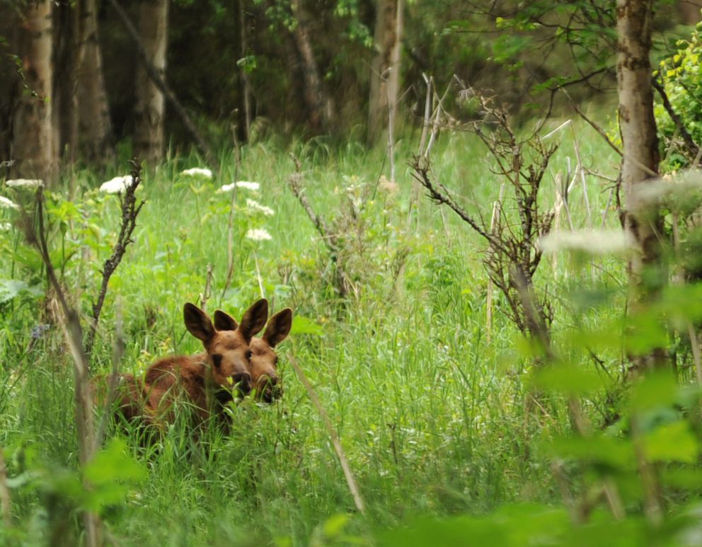 Twin moose calves are nearly hidden by tall grass in east Anchorage in 2013. (Anne Raup / ADN)