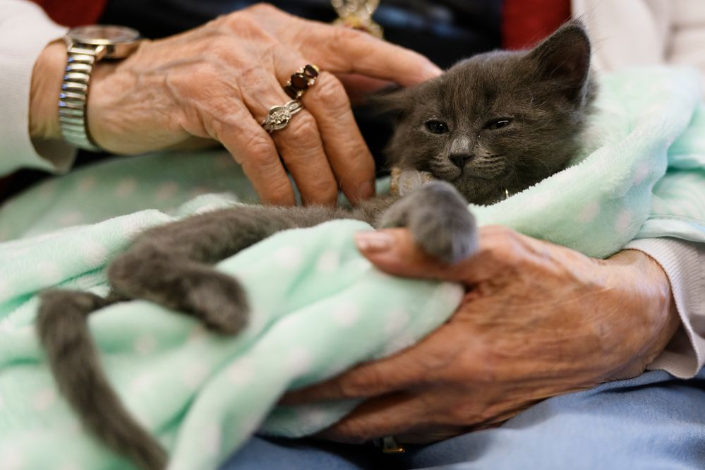 """Lucille Castro holds a seven-week-old kitten named Dandy. Residents of Providence Horizon House, an assisted living facility, got a chance to hold kittens Wednesday as part of its first Kitten Social Hour. The event, coordinated by Anchorage Animal Care and Control, gives kittens who aren't yet available for adoption the chance to be exposed to a new people and a new environment. AACC public relations coordinator Laura Atwood said they hope to visit once a week, as long as there are kittens. """"When we put them up for adoption, they're better prepared to come into their new home,"""" Atwood said. Kittens at AACC become available for adoption when they are eight weeks old and two pounds, Atwood said. Karen Strash-Purtzer, Horizon House activity and volunteer coordinator, said holding kittens benefits the residents also. """"I think it lowers their blood pressure. I think they have just a moment of relaxation,"""" Strash-Purtzer said. """"Maybe some of the residents, if they're able, will end up adopting a kitten."""" (Marc Lester / ADN)"""