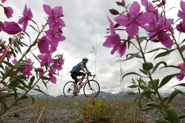 Dwarf fireweed frames a Fireweed 400 rider in July 2006 on the Glenn Highway. The Fireweed begins July 10, 2009, at Sheep Mountain Lodge.