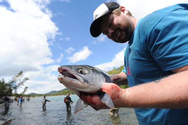 Brian McKinnon holds up his third fish after limiting out with reds on the opening day of fishing below the Russian River Ferry crossing on the Kenai River on Sunday, June 11, 2017. (Bill Roth / Alaska Dispatch News)
