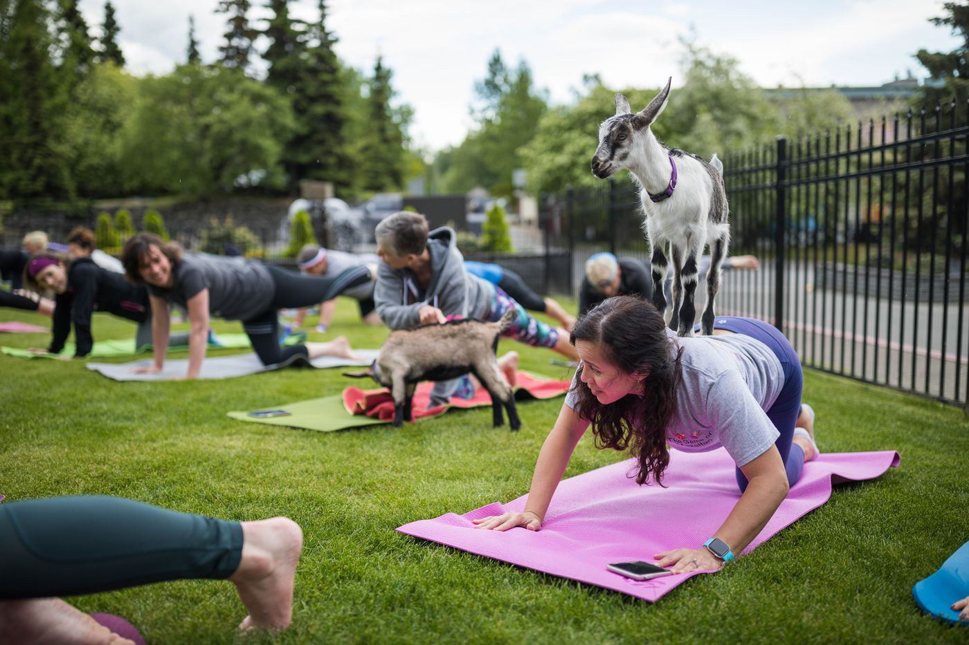 Patricia Ahrens tries to execute a yoga pose with a goat kid on her back. (Loren Holmes / ADN)