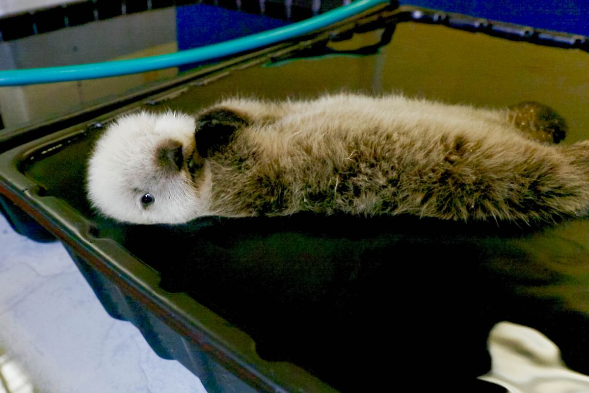 A sea otter pup at the Alaska SeaLife Center. The female pup was found stranded in Homer and transported to Seward by airplane. Activities pictured authorized by USFWS LOA 73418B-0. Photo courtesy Alaska SeaLife Center.