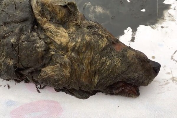 Prehistoric Siberian wolf head (YouTube screen grab / Siberian Times)