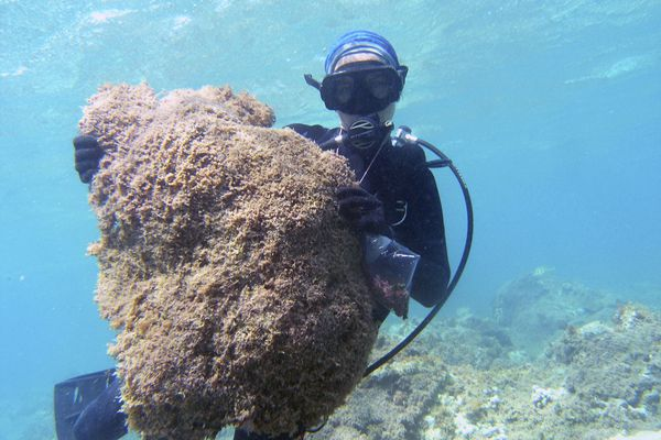 In this July 31, 2019 photo provided by researcher Heather Spalding, a thick mat of a new species of seaweed is held by a diver at Pearl and Hermes Atoll in the remote Northwestern Hawaiian Islands. Researchers say the recently discovered species of seaweed is killing large patches of coral on once-pristine reefs and is rapidly spreading across one of the most remote and protected ocean environments on earth. A study from the University of Hawaii and others says the seaweed is spreading more rapidly than anything they've seen in the Northwestern Hawaiian Islands, a nature reserve that stretches more than 1,300 miles north of the main Hawaiian Islands. The algae easily breaks off and rolls across the ocean floor like tumbleweed, scientists say, covering nearby reefs in thick vegetation that out-competes coral for space, sunlight and nutrients. (Heather Spalding/College of Charleston via AP)