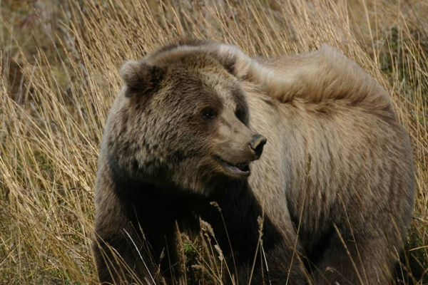 Location: Denali, 09/10/2012 Grizzly Bear mile 72 Denali park road creator:Photo courtesy of Mike a. Dyas / ADN reader submission