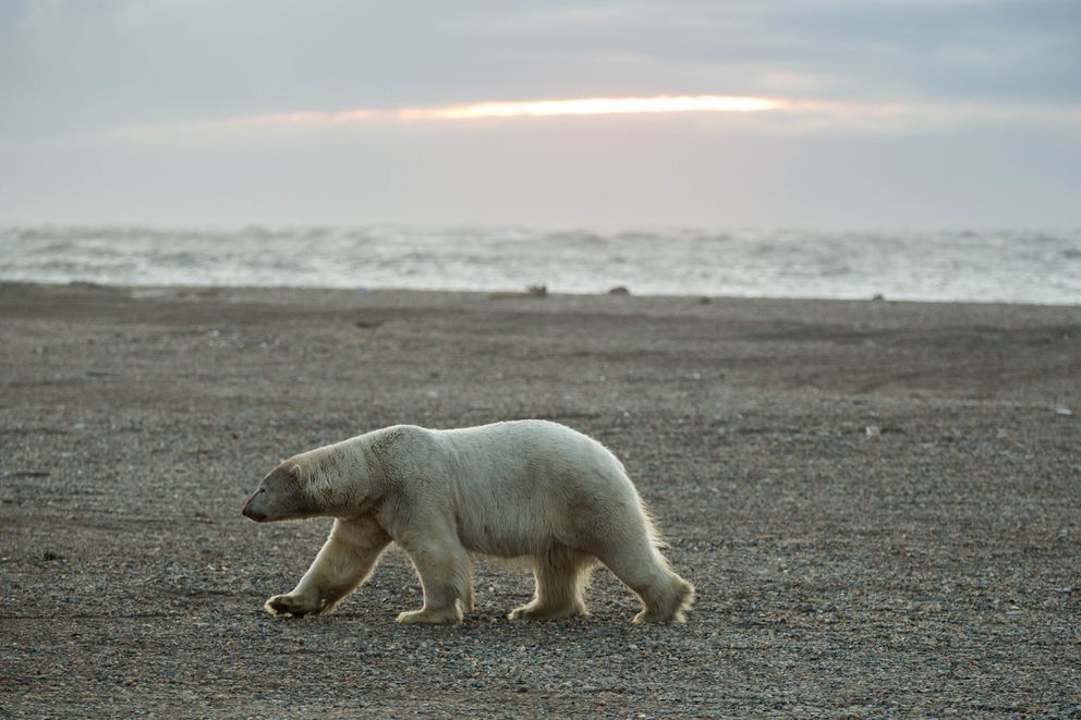 A polar bear walks along the beach near Kaktovik, on Alaska's Beaufort Sea coast, in 2012. (Loren Holmes / ADN archive 2012)