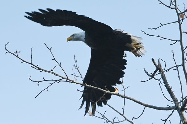 A bald eagle takes flight from a tree at Cheney Lake in Anchorage on Tuesday morning, Oct. 20, 2020. (Bill Roth / ADN)