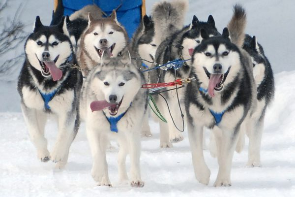 Dogs race down the Beach Lake Trails system during the CDMA Purebred Spring Fling sled dog races on Saturday, March 9, 2019 in Chugiak, Alaska. (Matt Tunseth / Chugiak-Eagle River Star)