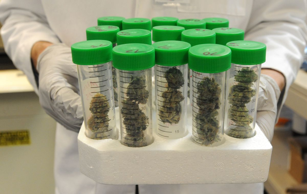 Marijuana samples at CannTest, which opened its doors on Oct. 24, 2016, and began testing the first commercial marijuana samples grown in Alaska. (Bill Roth / ADN file)