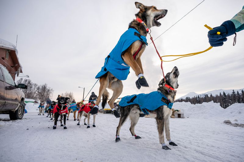 Oogruk, a dog in Kristy Berington's team, jumps in the air before leaving Takotna on Thursday, March 12, 2020 during the Iditarod Trail Sled Dog Race. (Loren Holmes / ADN)