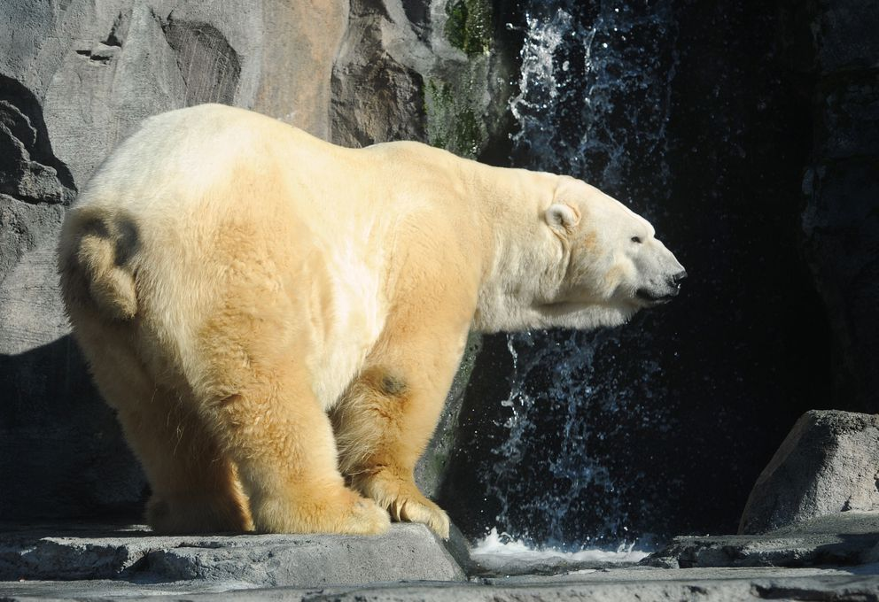 Lyutyik, a 19-year-old male polar bear at the Alaska Zoo, has passed away. (Bill Roth / ADN archive 2014)
