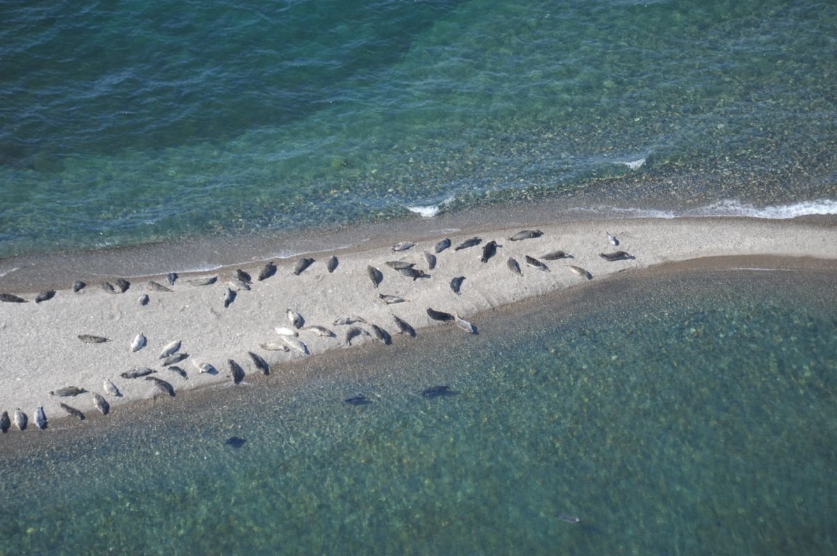 Harbor seals in summer on a sand island in Iliamna Lake. (Dave Withrow / NOAA Fisheries)
