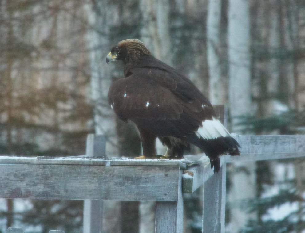 A golden eagle that showed up in the Fairbanks yard of Don Hampton and Anne Ruggles. (Photo by Don Hampton)