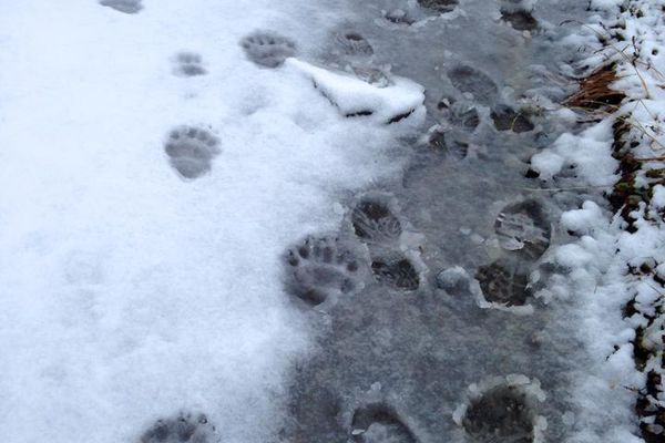Bear tracks alongside human tracks on the Harding Icefield Trail at Kenai Fjords National Park in October 2015. (Vicky Ho / Alaska Dispatch News)