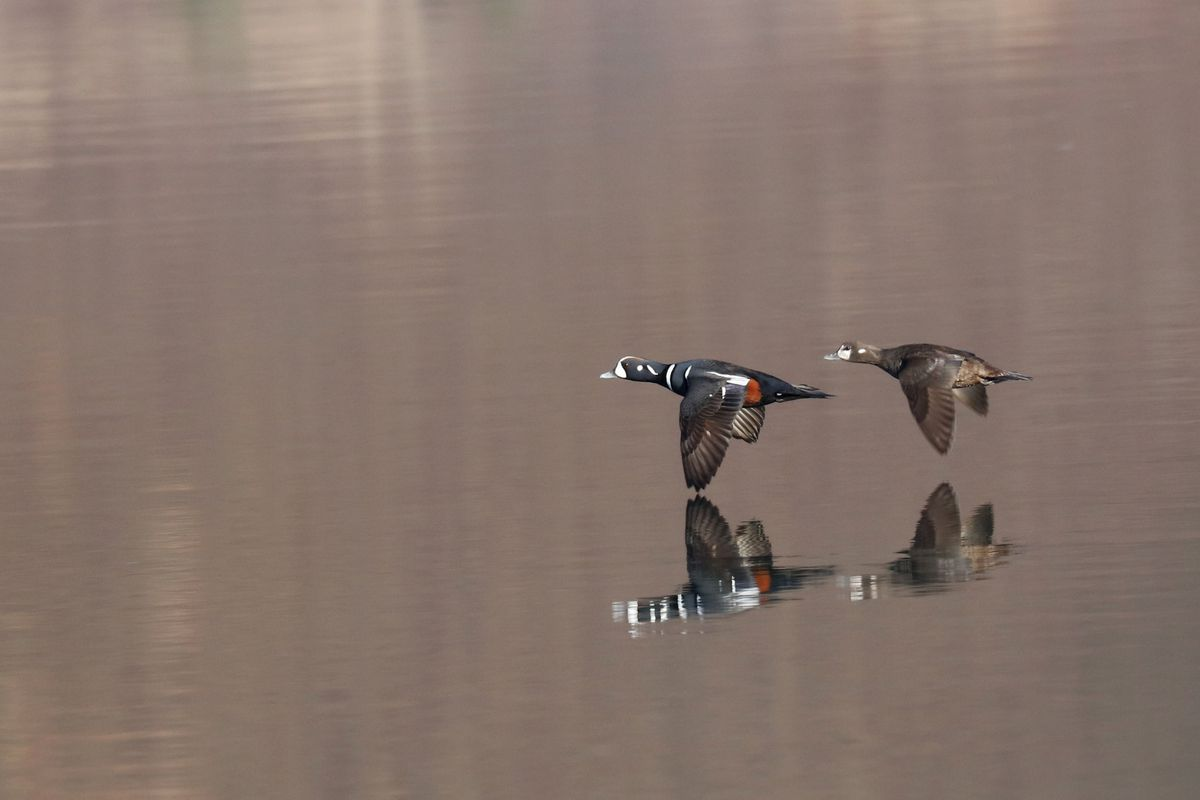 Lord and lady in synchronized flight this month on the Kenai Peninsula. (Photo by Steve Meyer)