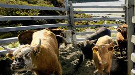 Curious Alaska: What's up with Alaska's remote island cattle herds?