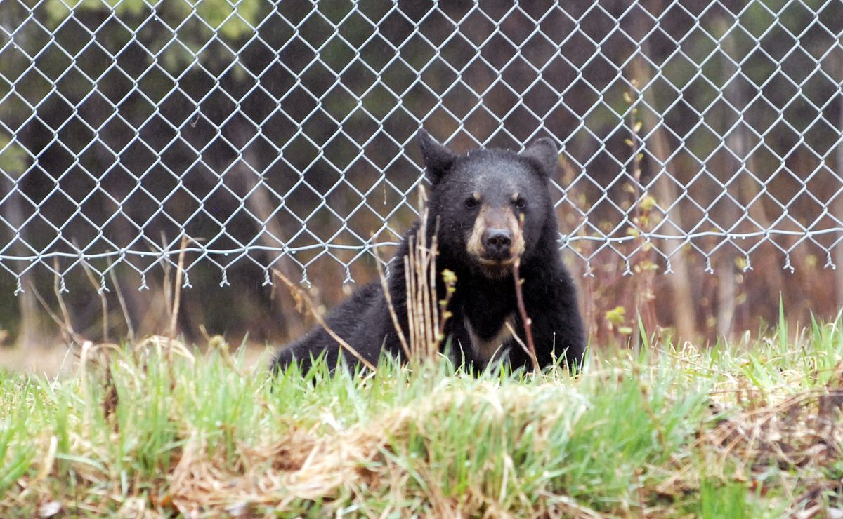 Bears are active and looking for food in Anchorage neighborhoods