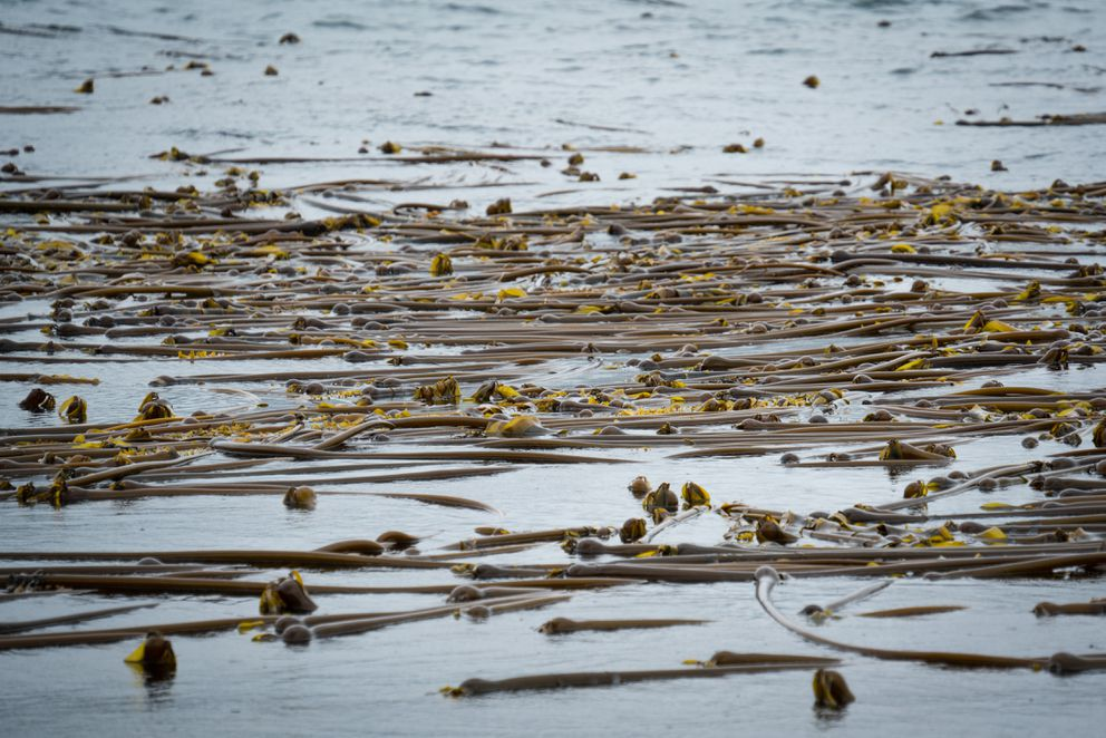A bed of bull kelp is revealed on the falling tide in Peril Strait when Lia Heifetz and Matthew Kern went out to harvest the plants. (Bethany Goodrich)